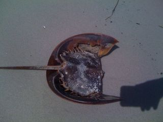 Part of a big horseshoe crab