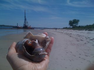 A hand's full of (2) sea snail shells and part of a much bigger (clam?) shell